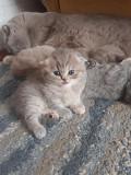 Шотландские и бенгальские клубные котята. Минск