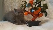 Шотландские клубные котята. Минск