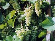 Саженцы ранних сортов винограда. Галахад, Довга, Кристалл Витебск