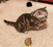 Шотландские котята Гомель