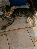 Бенгальские котята(мальчики) Брест