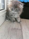 Шотландские вислоухие котята(мальчики) Брест