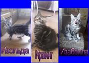 Продаются котята мейн-кун Минск