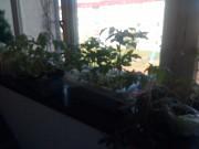 Рассада томатов и перцев Барановичи