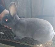 Продам кроликов Рекс Витебск