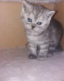 Продам котят британских короткошерстных Минск