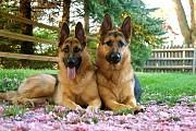 Дрессировка собак любых пород с выездом к владельцу на дом Минск