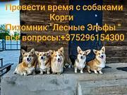 Провести время с собаками корги. Минск