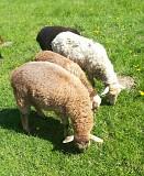 Овцы, ягнята, бараны Мстиславль