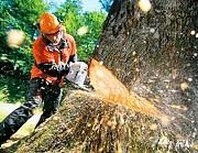 Спил деревьев. Уборка участка Гомель