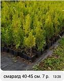Саженцы, декоративные растения Островец