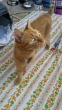 Кот рыжий Брест