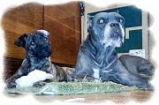 Кане Корсо & Акита отличные 3 мес щенки Минск