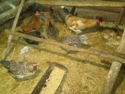 Пищевое яйцо домашние Быхов