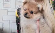 Продам щенка шпица Минск