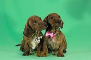 Предлагаем щенков миниатюрной (карликовой) гладкошерстных такс. Минск