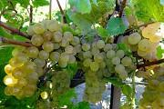 Саженцы винограда сортов Довга и Кристалл Витебск